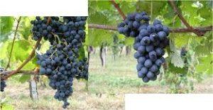 Uva rara e Vespolina