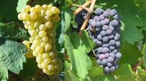 Chardonnay e Pinot Nero